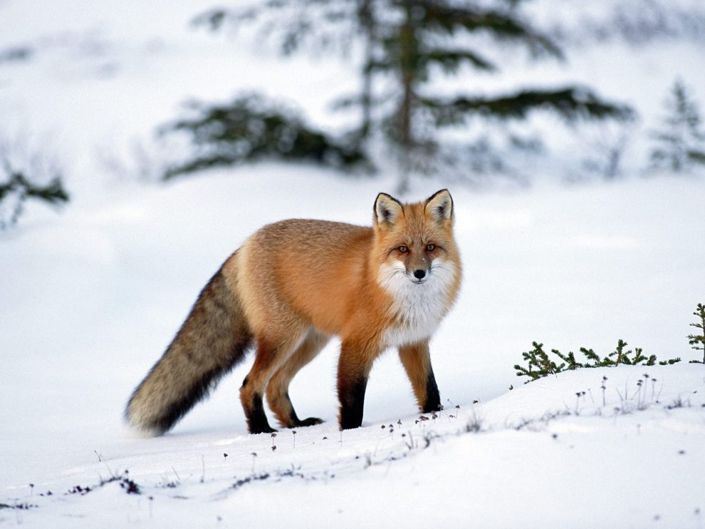 Red-Fox-red-foxes-13289735-1600-1200